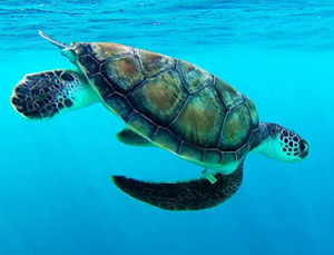 Marine & Turtles Conservation Programme Flipper - Maldives